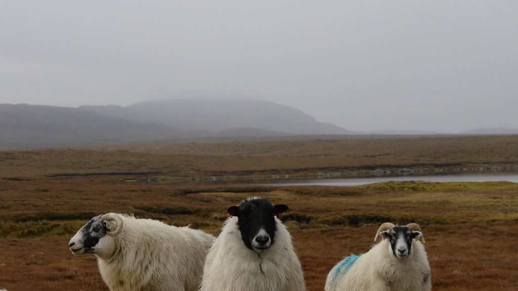 Sheep, Arnol, Isle of Lewis, Scotland